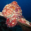 A reef octopus explores the Bunsoong Wreck